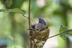 De moeder van zwart-Naped Blauwe Vliegenvangervogel beschermend zijn kuikens stock fotografie