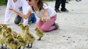 De moedergans houdt van veiligere afstand voor haar gansjes te hebben De jonge geitjes begrijpen niet En de ouders kunnen niet ju stock videobeelden