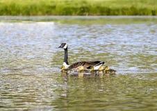 De moedergans zwemt met Gansjes Stock Afbeelding