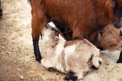 De moedergeit geeft jong geitje de borst Royalty-vrije Stock Afbeeldingen