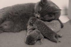 De moederkat behandelt haar katjes, eerste dag stock foto