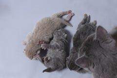 De moederkat behandelt haar onlangs geboren katjes royalty-vrije stock afbeelding