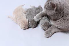 De moederkat behandelt haar onlangs geboren katjes stock afbeelding