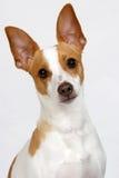 De Moeilijke vraag van het puppy Royalty-vrije Stock Foto