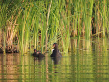 De moeraskip met eendjes in het riet Stock Fotografie