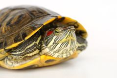 De moerasschildpad van de vijver. Royalty-vrije Stock Foto's