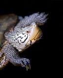 De moerasschildpad van Malaclemys Royalty-vrije Stock Foto's