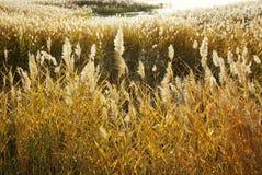 De moerassen van het riet in de herfst Royalty-vrije Stock Afbeelding