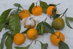 De mogna mandarinerna i snön Royaltyfria Bilder