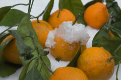 De mogna mandarinerna i snön Tangerin i snö Fotografering för Bildbyråer