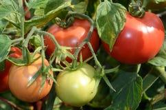 De mognande tomaterna Arkivfoto