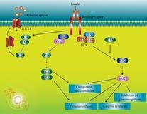 De moleculaire weg van de insuline Stock Afbeelding