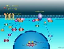 De moleculaire wegen van het histamine Stock Afbeeldingen
