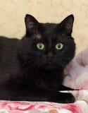 De mollige mooie kat van Bombay Stock Foto