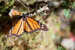 De Monarch stock afbeeldingen