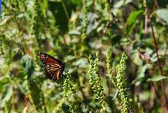 De monarch geniet van het Zwarte Bayou-Toevluchtsoord van het Meer Nationale Wild royalty-vrije stock afbeelding
