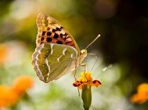 De monarch van de vlinder zit op bloem drinkt nectar Royalty-vrije Stock Fotografie