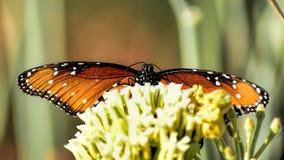 De Monarchist Stock Afbeelding