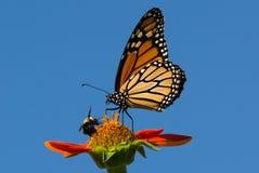De monarchvlinder en stuntelt Bij het voeden op de bloem van Zinnia Royalty-vrije Stock Afbeeldingen