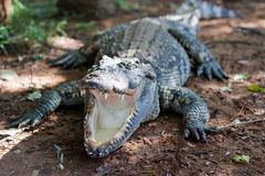 De mond van alligator heeft geen boomstam royalty-vrije stock afbeelding