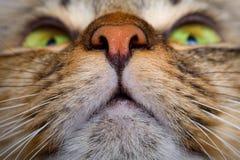 De mond van de kat en neusclose-up Stock Afbeeldingen