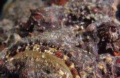De mond van Stonefish Stock Afbeeldingen