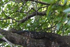 De monitorhagedis die een rust op een boom hebben Royalty-vrije Stock Afbeeldingen