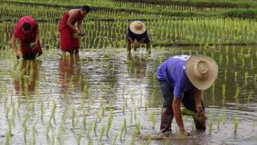 De monniken kweken rijst met landbouwers Royalty-vrije Stock Foto's