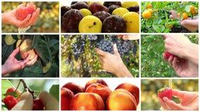 De montering van de fruitoogst stock video