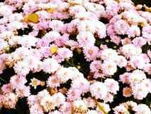 De mooie achtergrond van de chrysantenbloem royalty-vrije stock foto's