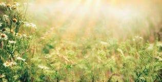 De mooie achtergrond van de de recente zomer openluchtaard met Wilde kruiden en bloemen op weide met zonnestralen stock fotografie