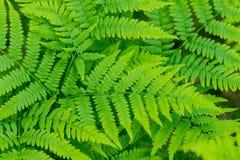 De mooie achtergrond van de het gebladerte natuurlijke bloemenvaren van varensbladeren groene in zonlicht De achtergrond van de i Royalty-vrije Stock Foto's