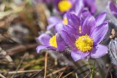 De mooie achtergrond van de lente violette bloemen Oostelijke pasqueflower Royalty-vrije Stock Foto's
