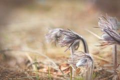De mooie achtergrond van de lente violette bloemen Oostelijke pasqueflower Royalty-vrije Stock Afbeeldingen