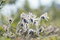 De mooie achtergrond van de lente violette bloemen Oostelijke pasqueflower Royalty-vrije Stock Foto