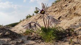 De mooie achtergrond van de lente violette bloemen Oostelijke pasqueflower stock videobeelden