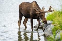 De mooie Amerikaanse eland Van Alaska wandelt in het kalme water stock afbeeldingen
