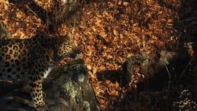 De mooie amurluipaard bekijkt iemand en likt zijn lippen Safari Park, Rusland stock video