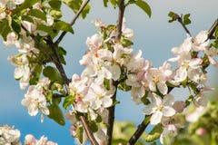 De mooie appel komt dicht tegen de blauwe hemel op een heldere zonnige dag tot bloei Royalty-vrije Stock Afbeeldingen