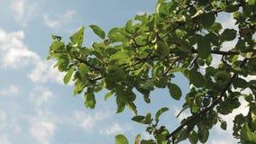 De mooie appelen rijpen op de boom tegen de blauwe hemel Groene appelen op de tak Organisch fruit landbouw stock videobeelden