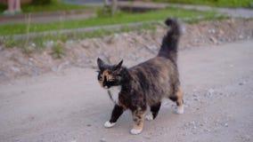 De mooie bevlekte kat loopt doelbewust achter de camera op een landweg Een prachtig goedaardig dier huisdieren stock footage