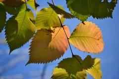 De mooie bladeren van de de herfst multicolored hazelaar Rood, geel, groen tegen een blauwe hemel Close-up stock fotografie