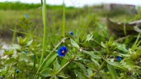 De mooie blauwe bloemen binnen groen graden Royalty-vrije Stock Fotografie