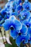 De mooie blauwe orchidee op bloem toont royalty-vrije stock afbeelding