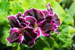 De mooie bloeiende bloem van de fluweel purpere geranium met groene leav stock foto's