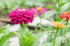 De mooie bloeiende bloemen van Zinnia Royalty-vrije Stock Afbeelding