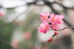 De mooie bloeiende roze sakurabloemen Yaezakura zijn vooraan Royalty-vrije Stock Fotografie