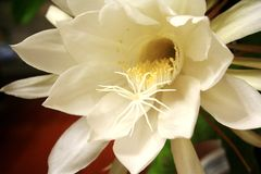 De mooie bloem Breedbladige Epiphyllum Royalty-vrije Stock Afbeeldingen