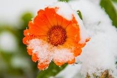 De mooie bloem in de sneeuw, de eerste sneeuw viel stock foto's