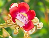 De mooie Bloem van Balltree van het Kanon Royalty-vrije Stock Afbeeldingen